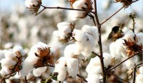 Cotton in Mkwasine, Chiredzi