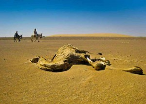 Camel dies of drought in Algeria