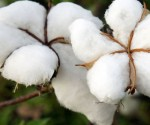 Cotton farming in Chiredzi, Zimbabwe