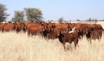 Chiredzi cattle ranchers