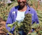 Female black farmer for Jatropha curcas, Julia Thandeka Shungube of Mbangwane, Ehlanzeni district in Mpumalanga, South Africa. Photo by Anna Ntabane, CAJ News Africa