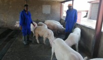 Award winning female black farmer, Khulile Mahlalela (31), who runs a piggery at Mhluzi in Middleburg, Mpumalanga, is producing pork for the nation and international market. Photo by Anna Ntabane, CAJ News