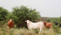 Botswana cattle