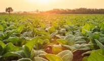 Golden golden leaf tobacco