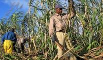 Cane sugar in KwaZulu Natal